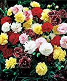 Risitar Graines - 50pcs Rare Oeillet d'Inde Rose/jaune/blancs/bicolores/rouge/Strawberry/en mélange, Graines de fleurs Graines et Potager Plantes vivaces résistante au froid