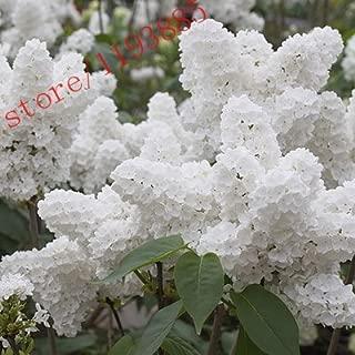 Best japanese white lilac bush Reviews