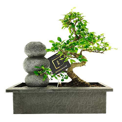 Bonsaiworld Bonsai Zen Steinen Wasserfall Set - 10 Jahre alt - Baumhöhe 30-35 cm