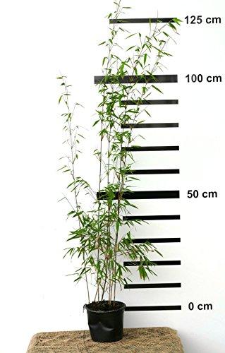 Roter-Bambus Fargesia jiuzhaigou winterhart und schnell-wachsend 100-120 cm hoch