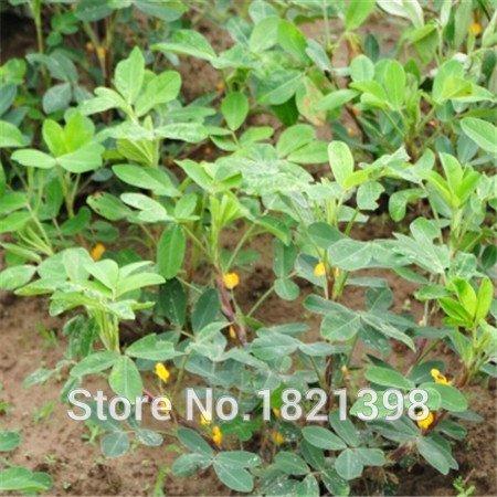 mélange de légumes Graines de printemps Bonsai arachide Graines 10pcs Novel Blooming plantes pour l'expédition Courtyard Garden gratuit
