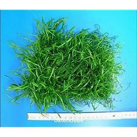 WFW wasserflora Brasilianische Graspflanze Lilaeopsis brasiliensis