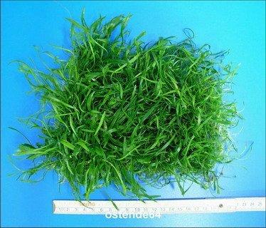 WFW wasserflora Brasilianische Graspflanze/Lilaeopsis brasiliensis (Neuseelandgras) - schöne dichte Pflanzenmatte 150 x 120 mm