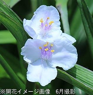 【紫桜館山の花屋】ムラサキツユクサ 白花 9cmポット苗 (2ポットセット)