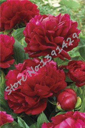 peonie cinesi, semi radice di peonia, 10 pz peonia Semi rossi