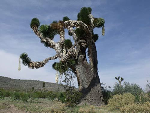 FERRY Bio-Saatgut Nicht nur Pflanzen: 1 Yucca carnerosana PUGNE Gigante SPAGNOLO schöne 100 Seeds