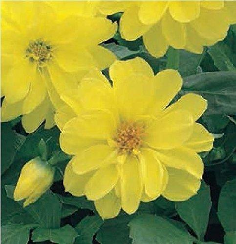 Il vous suffit de graines de fleurs???Dahlia Figaro Jaune Nuances???100?graines???Gros Lot