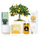 Lote Gourmet Regalo Flora con Naranjo Calamondin 38 cm, guía de cuidados, taza de cerámica, infusión ecológica, miel de azahar, cuchara para miel y galletas artesanales entregado en caja de regalo