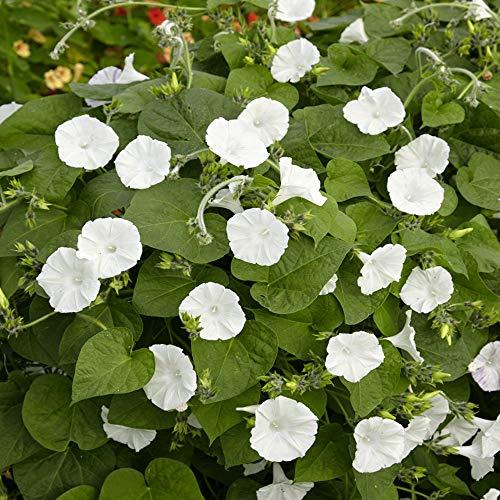 Outsidepride Moonflower Vine Plant Flower Seed - 1/4 LB