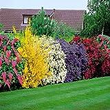 Adolenb Seeds House- Floraison haie, vie haie arbuste arbustes à fleurs plantes de...