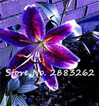 100 PC-Lilien-Blumensamen, schöne Blume Lilium Lily Pflanzen Zwiebeln, Faint Duft, Innentopfpflanze für Hausgärten-16