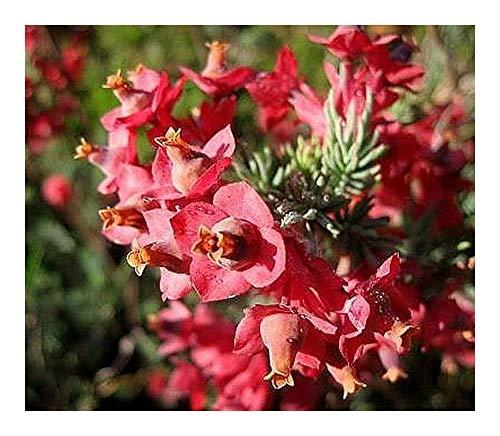Erica glauca - Heidekraut - 15 Samen