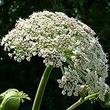 60 Semillas de Angélica, hierba del Espíritu Santo (Angelica archangelica)
