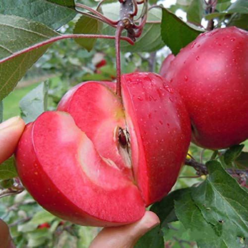 puran 10Pcs/Bag Apples Seeds, Full of Vitamins Eco-friendly Sweet Rare Red Flesh Apples Seeds, Grow Your own, Ideal for Containers - Apple Seeds
