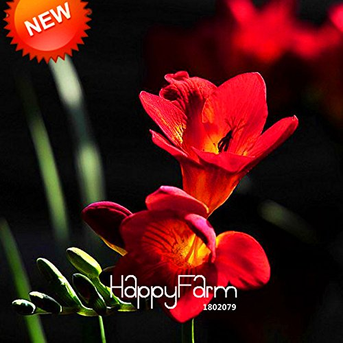 Promotion! Plantes Red Freesia Seeds graines en pot à fleurs d'orchidée 100 particules / Bag, # ARKZ1T