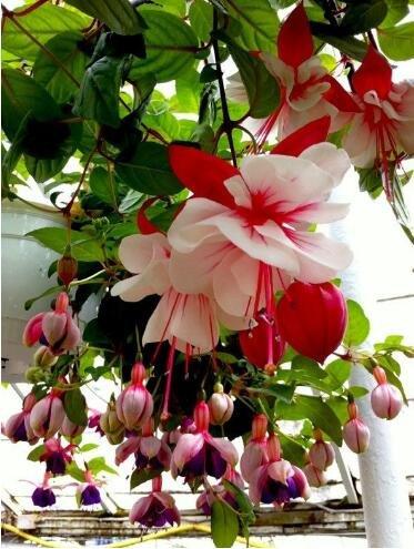 lanternes Fuchsia / fleurs / graines de fleurs balcon intérieur salon / Begonia de Bell pot graines de fleurs 100 graines 15