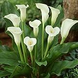 Ferry 4 Birnen: Calla-Lilien-Birnen, Calla-Lilien-Blumen, Nicht Samen, Topfpflanzen, weiße Calla