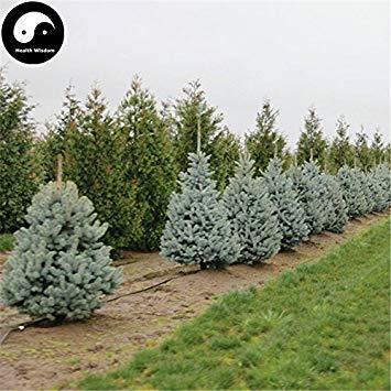 Kaufen Sie Picea Pungens Tannenbaum Samen 240pcs Plant Blue Spruce Tree Chinese Lan Shan