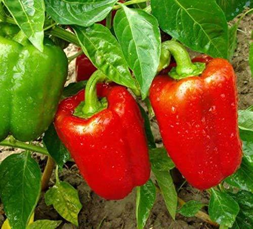 Portal Cool Gemüsesamen roter grüner Pfeffer spanischer süßer organisch gewachsener Nicht-GVO