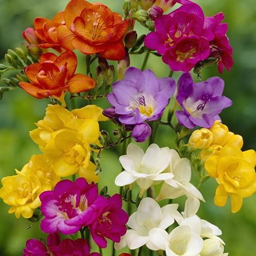 Outsidepride Freesia Garden Flower Seed Mix - 100 Seeds