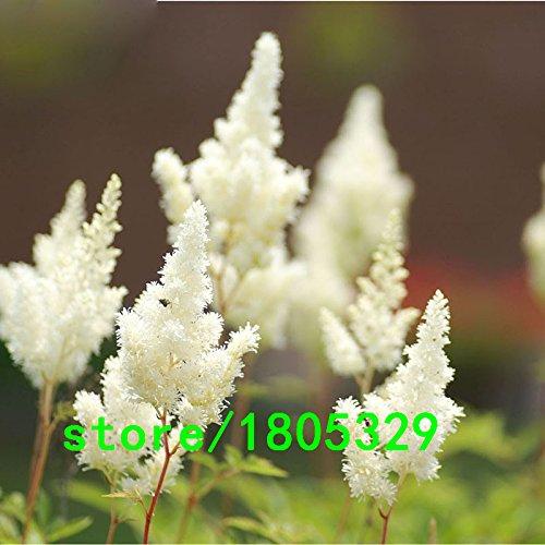Hot Sale Rare Blanc chinois Astilbe Graines Balcon Jardin Patio Plantes en pot Bonsai Astilbe chinensis Fleurs Graines 100PCS