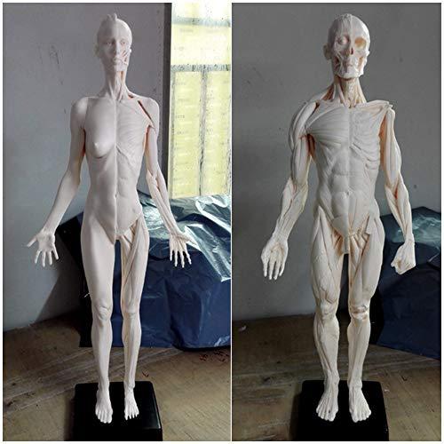 60CM menschliche Körper-Anatomie Figur - menschliche anatomische Muskel-Knochen-Modell - Kunst Mannequin Muskel der Malerei Skulptur Struktur Muskel-Skelett - Referenz für Künstler,A