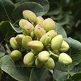 Semillas de pistacho, 5 piezas de semilla de pistacho sin OMG fácil de plantar Semilla de árbol de pistacho fresca para plantar jardín al aire libre
