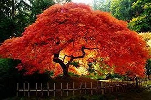 Portal Cool 10 Feuer-Ahorn Flame Tree...