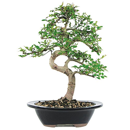 Brussel's Live Chinese Elm Outdoor Bonsai Tree - 7 Years Old; 8' to 10' Tall with Decorative Container