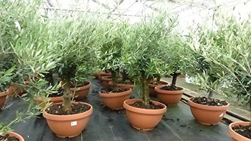 Mega Olivenbaum Bonsai Formgehölz, Olive winterhart, Olea europaea