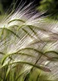 Tropica - Gramíneas y Bambú - Cebada mane (Cultivo jubatum) - 70 Semilla