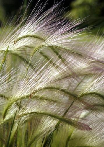 Tropica - Graminées et Bambou - Orge de crinière (Culture jubatum) - 70 Graines