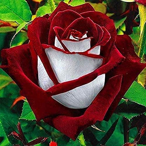 50 Stück Seltene Rote & Weiße Rose...