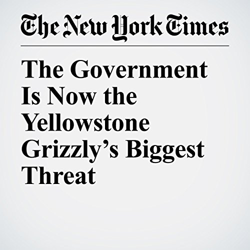 The Government Is Now the Yellowstone Grizzly's Biggest Threat copertina