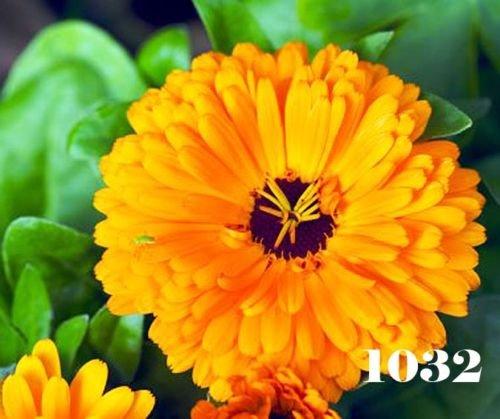 ORANGE SOUCI NAIN POT - Calendula officinalis 400 graines FLEURS ANNUEL