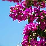 Multicolor: 50 semillas/Pac Ktop vendiendo coloridas buganvillas Spectabilis Willd Semillas Bonsai Plant Flower Semillas Perenne Bougainvillea Seed