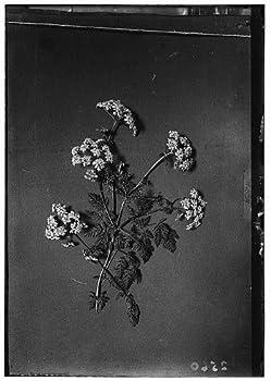 HistoricalFindings Photo  Wild Flowers of Palestine,Poison Hemlock,Conium maculatum L,Middle East,c1910