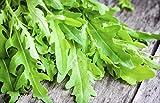 500 Graines de Roquette - plante aromatique - légumes jardin potager méthode BIO