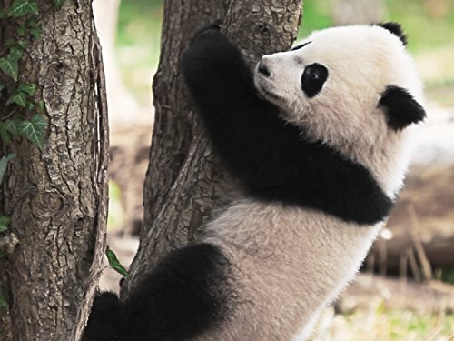 Bao Bao's First Year