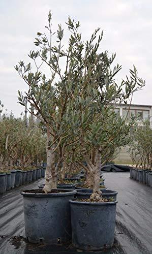 Bellissimi alberi di Ulivo Olivo di 7 anni Resistenti al freddo h.70/150 cm in ciotola ø45 cm