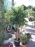 Árbol de naranja (Citrus sinensis) grande, tronco grueso.