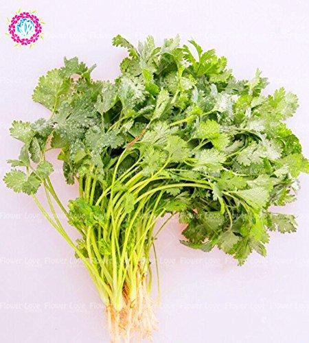 100pcs Bonsai Graines Coriandre All Seasons Graines de persil légumes biologiques en pot Fragrant comestibles Jardin des végétaux