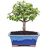 Brussel's Live Dwarf Jade Indoor Bonsai Tree - 5 Years Old; 6' to 8' Tall with Decorative Container