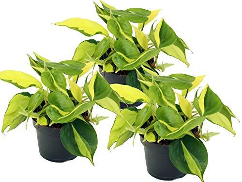Lierre scindapsus, (Epipremnum aureum) variétés : Brésil, feuillage coloré jaune/vert-multicolore, grimpant, plante dénudée, purificateur d'air (lot de 3 dans un pot de 12 cm).