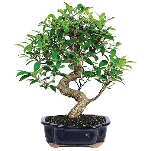 Brussel's Bonsai Live Golden Gate Ficus Indoor Bonsai Tree-7 Years Old 8' to 10' Tall with Decorative Container