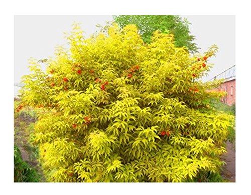 50 + Rote Holunder Samen (Sambucus racemosa) Zierstrauch Baum CombSH I85