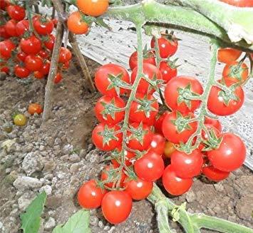 VISTARIC Black Pearl Graines de tomate très savoureux Nutritive Légumes Heath Seeds 1 paquet de 100 graines/Paquet