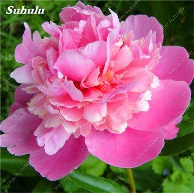 True Color mélange Graines Pivoine jardin Fleurs vivaces Fleurs en pot Graines de plantes ornementales de jardin Bonsai-10 Pcs 10