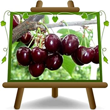 Pianta da frutto Portainnesto Gisela 5 su vaso da 20 Ciliegio Nano Lapins albero max 170-2 anni