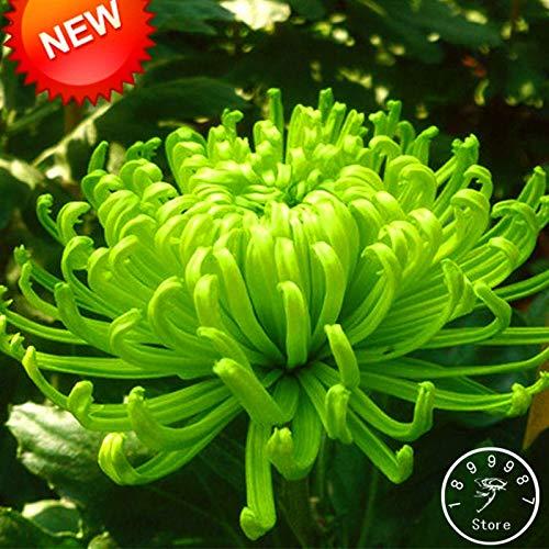 HONIC Sale! Balkon Topf Seltene Grün Chrysantheme-Blumen-Garten Schöne Topfpflanze Bonsai 100 PC/Satz, NZRAQ5